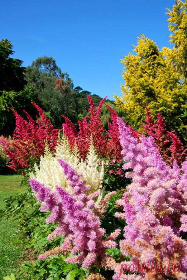 Астильба - украшение сада. Это травянистый многолетник из семейства камнеломковых. Благодаря своей непритязательности она хорошо оттеняет красоту других растений в композиции. Да и в массивах ее пушистые соцветия смотрятся очень выигрышно.