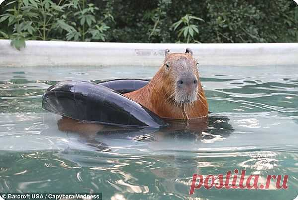 Капибара в качестве домашнего животного!   ZooPicture.ru