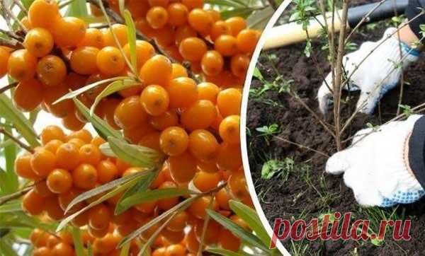 Когда и как сажать облепиху, правила и схема посадки, уход Облепиха – урожайное растение, с полезными для здоровья витаминными ягодами. Это одна из тех культур, которую нужно обязательно завести на своем участке каждому садоводу. Рассмотрим особенности посадк...