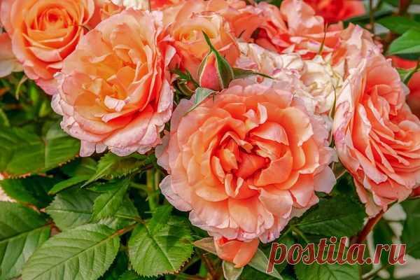 Чтобы получить роскошный цветущий куст роз весной, нужно правильно ее обрезать на зиму