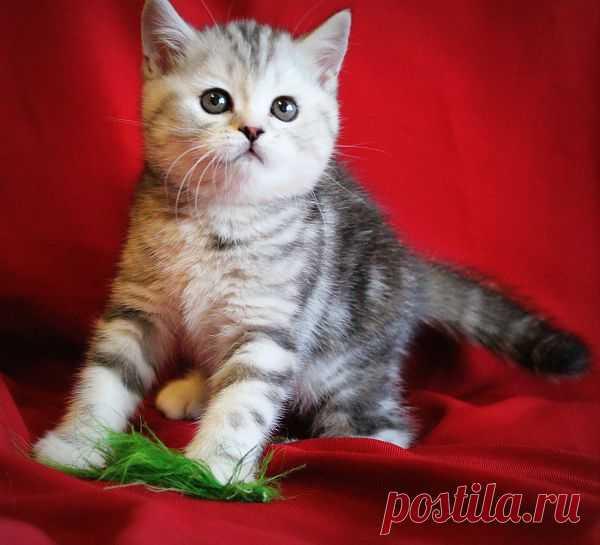Кошечка шотландская-дочка моего кота(лучшая в помёте)BUOZI
