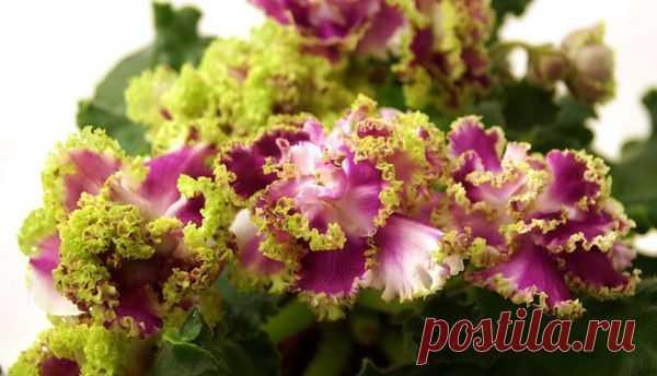 Смотреть фото фиалки хрустальная роза
