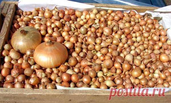 Эффективный способ посева лука-севка: увеличиваем всхожесть и повышаем здоровье растения | Секреты садоводства/цветоводства | Яндекс Дзен