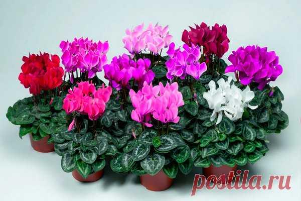 Комнатный цветок цикламен: уход в домашних условиях