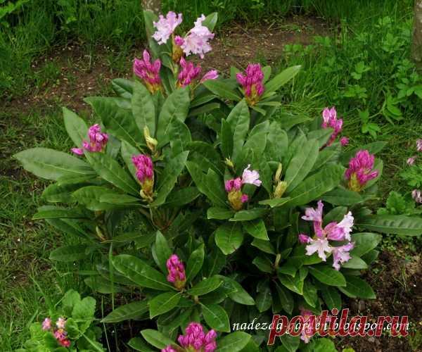 Nadezda's Gardening and Craft: Зимостойкий рододендрон «Дочь Севера»
