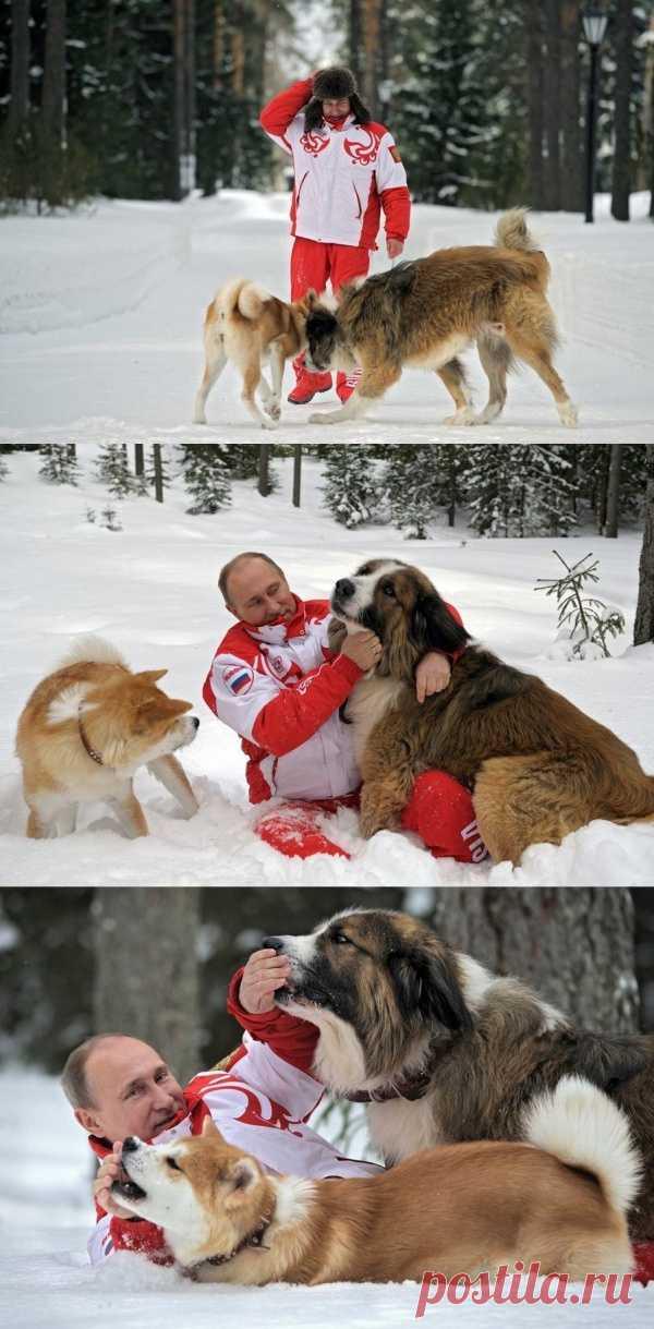 Российский президент с охраной. Наверное, это более прозаично, чем со стерхами, но болгарская овчарка Баффи и японский акито-ину по кличке Юмэ тоже очень симпатичны
