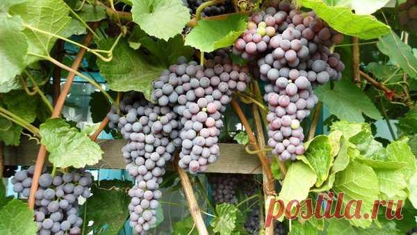 Уход за виноградом по месяцам | Klumba-plus.ru | Яндекс Дзен