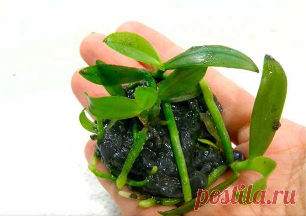 Размножение орхидей - 6 возможных способов
