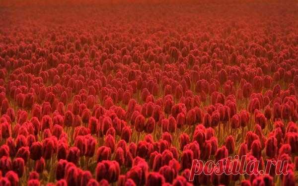 Обои Тюльпаны, весна, цветы, лето, цветок, цветки для рабочего стола 6333