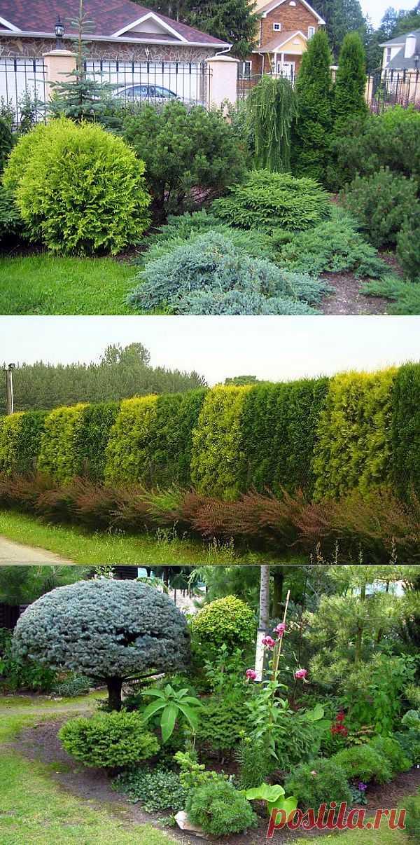 Хвойные растения в нашем саду и уход за ними. Хвойные растения обладают удивительным качеством - они способны одним своим присутствием придать благородство даже самому непривлекательному саду.