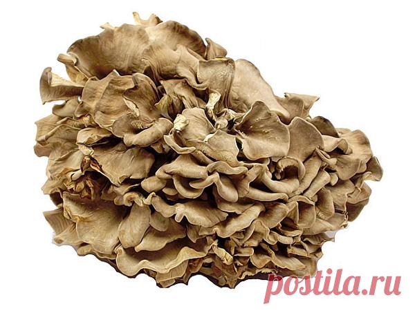 Мейтаке (гриб баран) Мейтаке – гриб, который очень ценится благодаря полезным и лечебным свойствам. Как используют экстракт мейтаке, порошок и масло из него? Есть ли противопоказания к использованию и как мейтаке применяют?