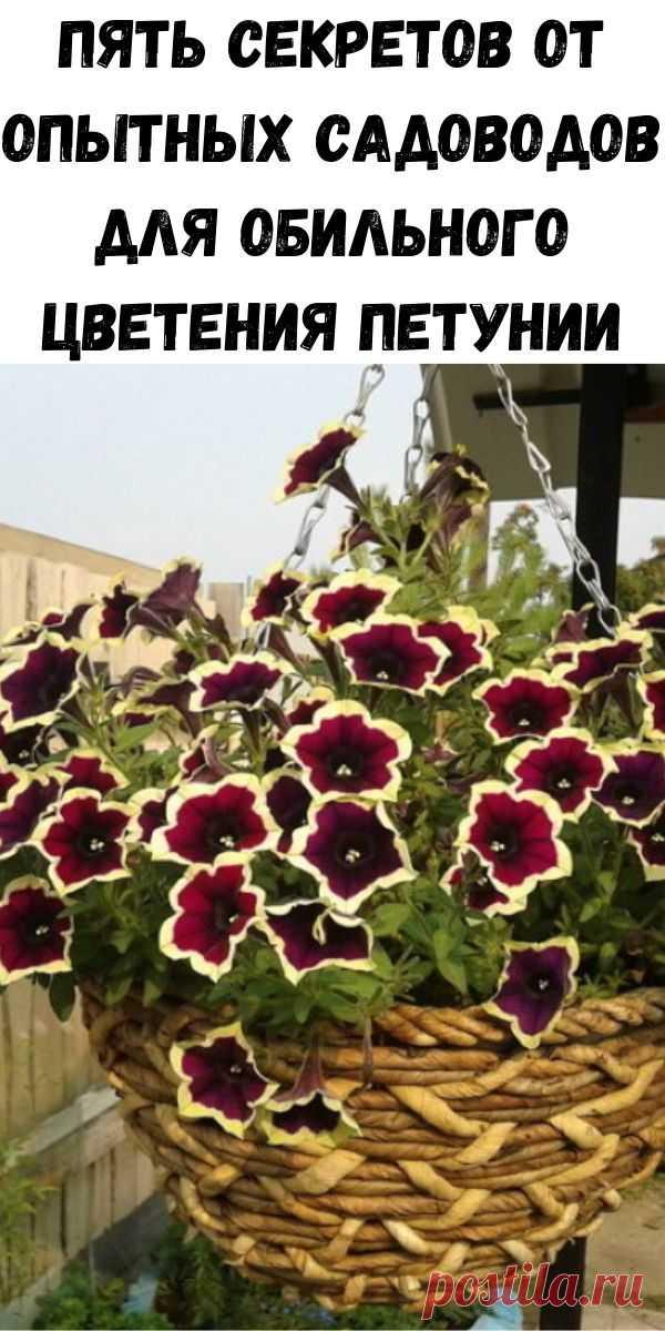 Пять секретов от опытных садоводов для обильного цветения петунии - Полезные советы красоты