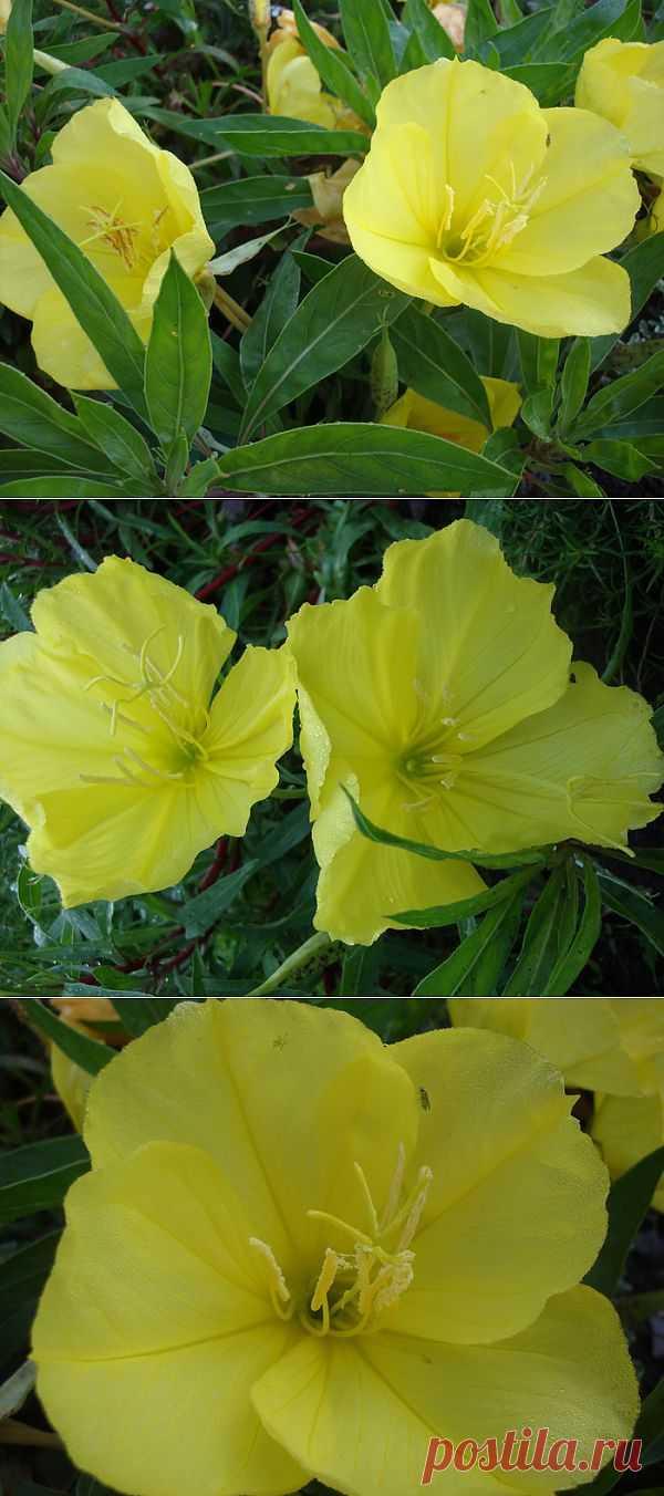 Цветок Энотера