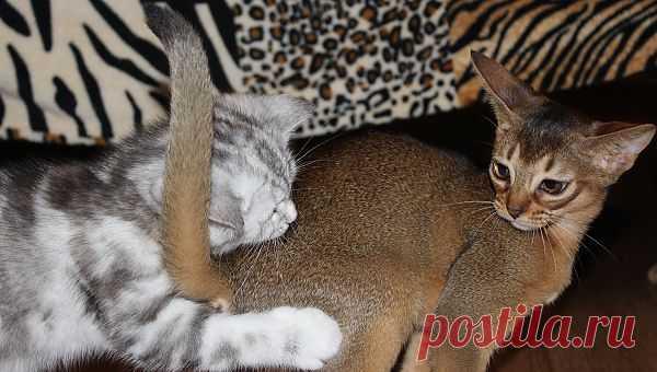 Шотландские и абиссинские котята BUOZI