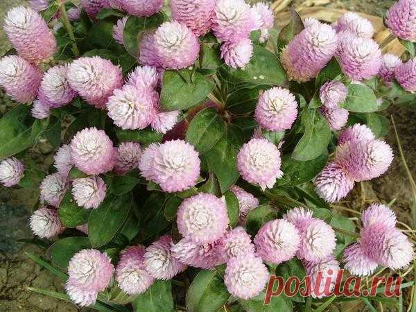 Las flores esféricas para las casas de campo redondas: la foto, la descripción