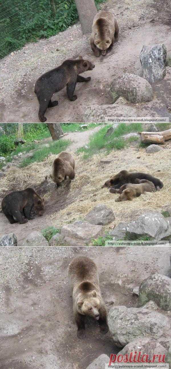 Русский медвежонок и шведские медведи (медвежий пост)