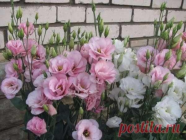 Эустома украсит ваш сад  Эустома – очень привлекательное растение с сизыми, словно покрытыми воском, листьями и крупными воронковидными простыми или махровыми цветками нежных оттенков. Цветки у эустомы крупноцветковой достигают 7–8 см в диаметре. Они бывают самой разной окраски – белые, розовые, лиловые, фиолетовые, белые с цветной каймой и т. д. Полураспустившиеся цветки похожи на бутоны роз, а когда раскроются полностью – на крупные маки. Стебли у эустомы прочные, 80–90 ...