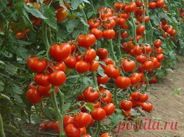 Как получить большой урожай томата? | КеДР | Яндекс Дзен