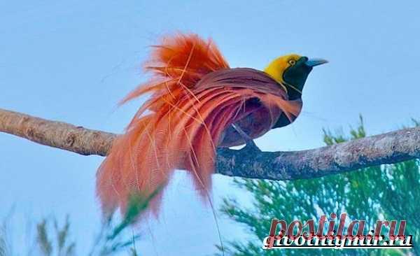 Райская птица. Образ жизни и среда обитания райской птицы | Животный мир