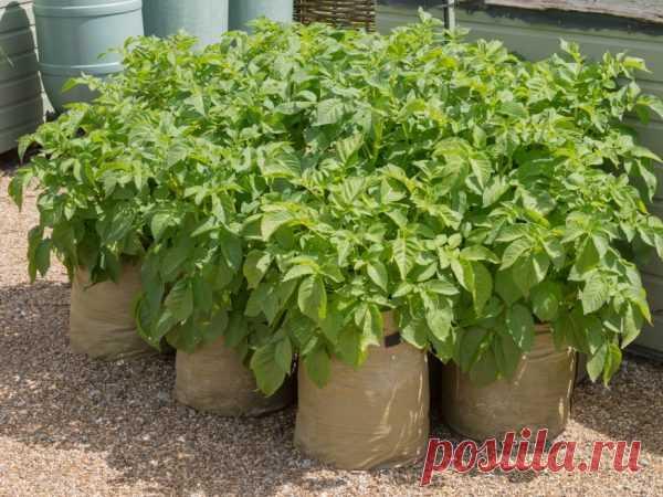 Технология выращивания картофеля в мешках