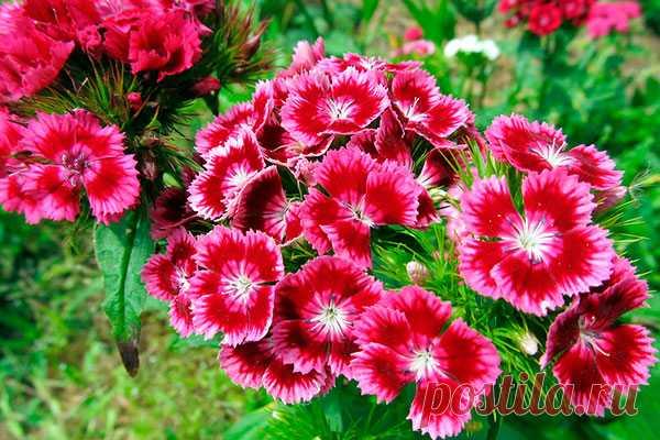 Растение Гвоздика садовая: фото, сорта, выращивание, посадка и уход в открытом грунте