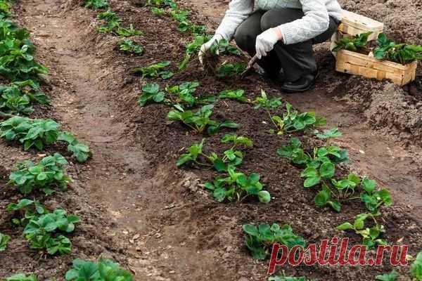 Сажаем клубнику: какие существую схемы и чем они отличаются – Все о томатах. Выращивание томатов. Сорта и рассада.