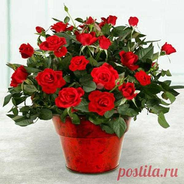 Роза комнатная - Комнатные растения цветы. Florets.ru
