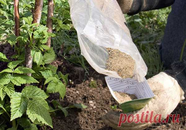 Чем лучше всего подкормить малину осенью? Закладка удобрений для будущего урожая | Любимая Дача | Яндекс Дзен