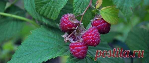 Не делайте это с малиной! 5 ошибок, которые погубят урожай Наиболее частые ошибки при выращивании малины способны привести к тому, что урожай получается намного меньше, чем мог бы быть. По этой причине многие дачники отказываются от культивирования этой полезной ягоды. И делают это напрасно.