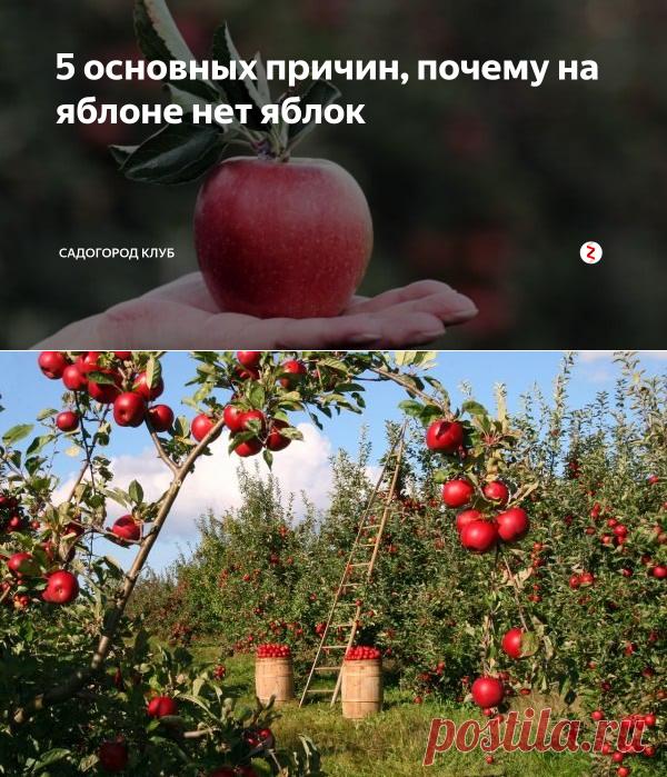 5 основных причин, почему на яблоне нет яблок | СадОгород клуб | Яндекс Дзен