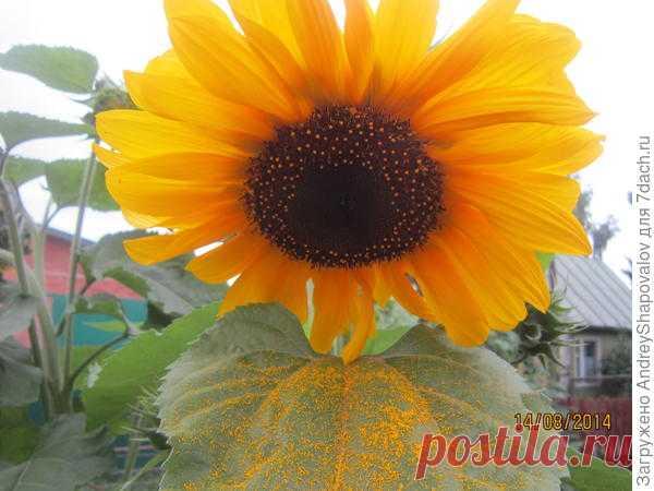 Подсолнечник: опыт выращивания из семян. Сорта. Фото