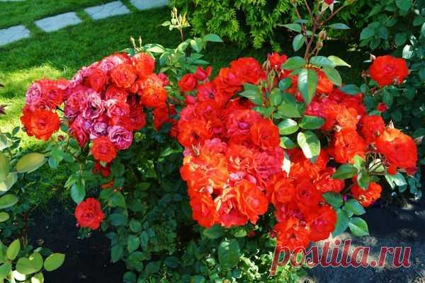 Реанимация роз после зимовки
