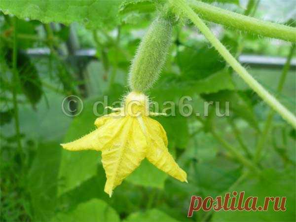 Опрыскивание борной кислотой огурцов для обильного цветения