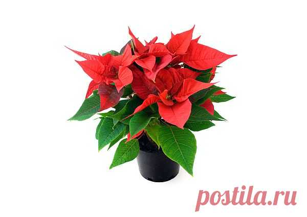 Poinsettia  Free Stock Photo HD - Public Domain Pictures