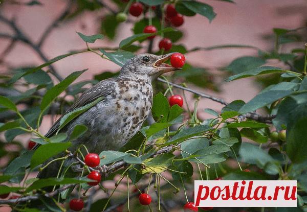 Как защитить ягоды от птиц на дачном участке своими руками
