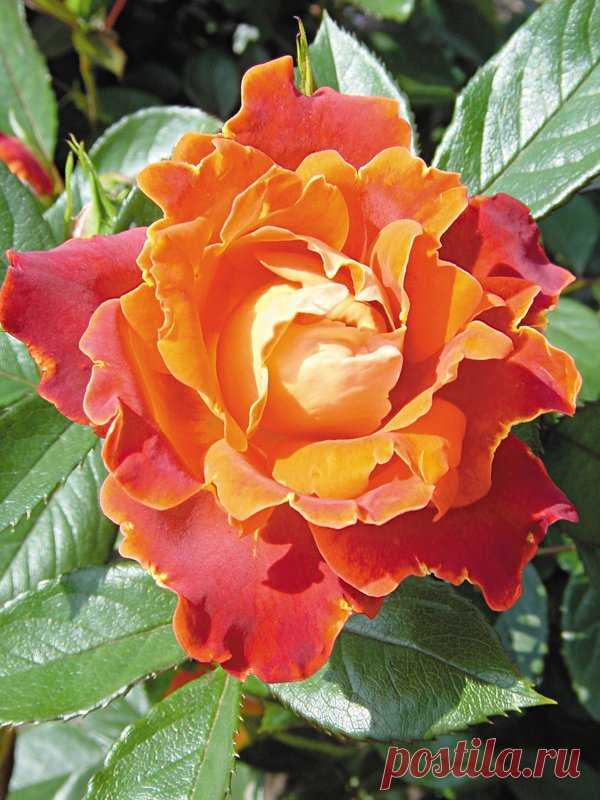 Розы «Раффлс». Правила ухода и выбора сорта. — Ботаничка.ru