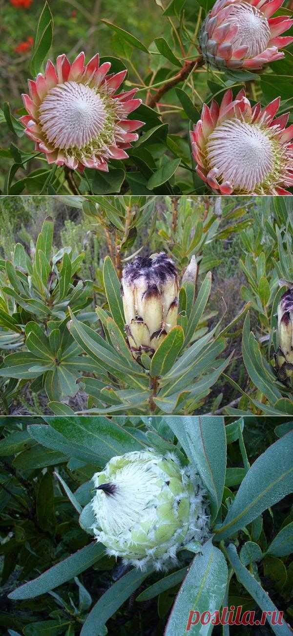 Цветок Протея