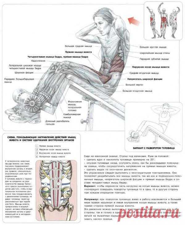 ПРЕСС. Подъемы туловища на наклонной скамье. Выполняя данное упражнение вы в большей мере задействуете среднюю и верхнюю части пресса и в меньшей степени – косые мышцы живота и нижнюю часть пресса.