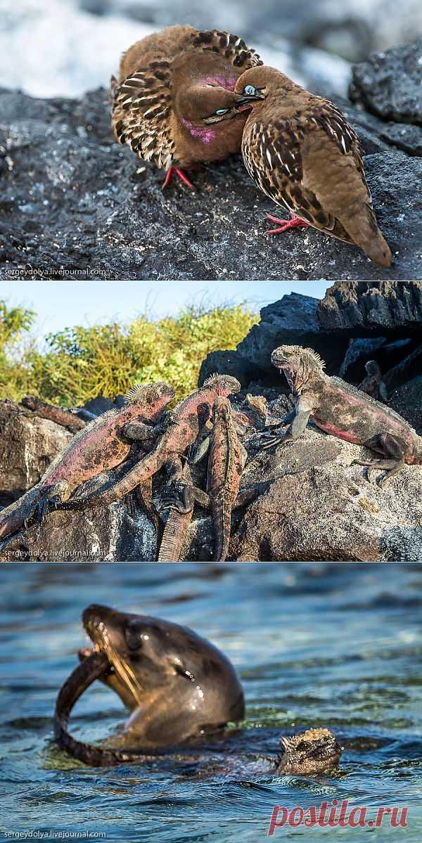 Галапагосы. Остров Эспаньола | Уши, лапы, хвост
