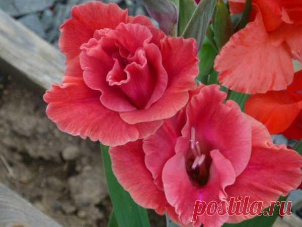 Восхитительные гладиолусы