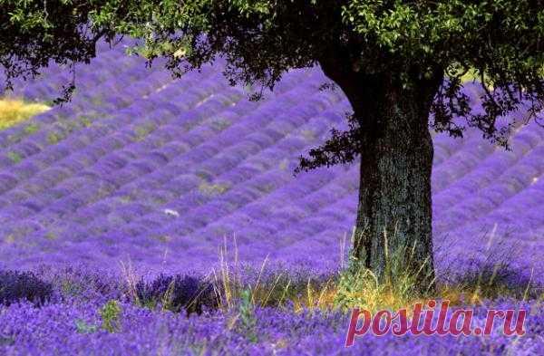 Лавандовые поля Прованса Представьте: под ногами танцует фиолетовое море с нежно лиловыми бликами, сливаясь с бескрайним синим небом. Ветер разносит тонкий аромат, который волнует дух и расслабляет тело. Это не сказка, а самая настоящая реальность. Это цветет лаванда в Провансе.