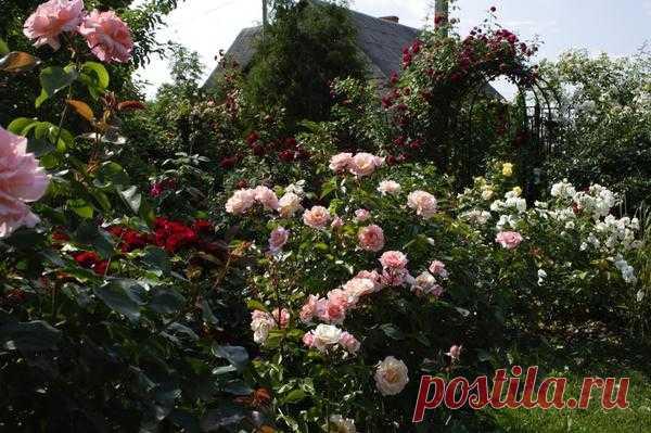 Плетистые розы: уход, сорта, использование в саду, фото