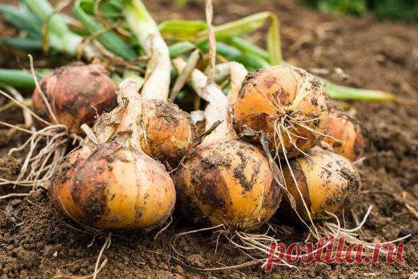 Крупный лук:вся сила в соли | Чудо огород! | Яндекс Дзен