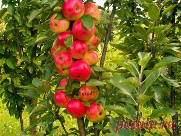 Как правильно вырастить колоновидную яблоню?