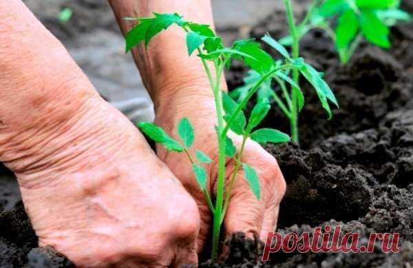 Огородникам на заметку. Как вырастить томаты без полива | Твоя усадьба | Яндекс Дзен