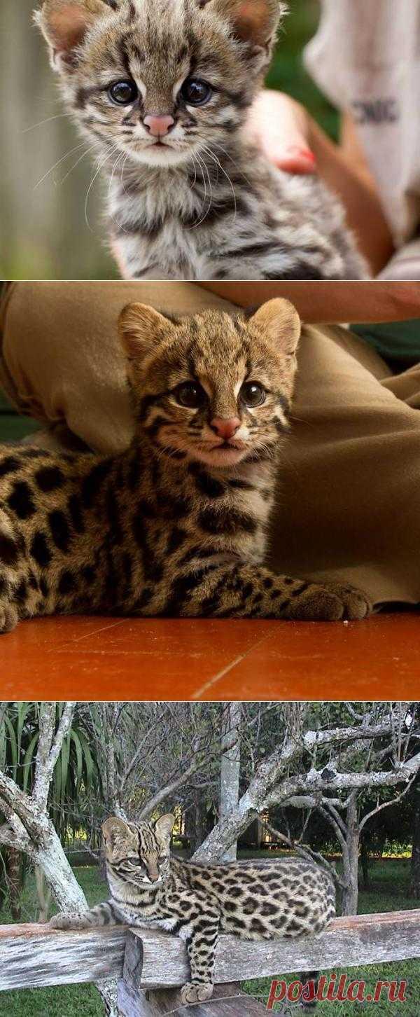 Зоопарк Сан-Паулу представил детеныша редкой кошки онциллы | Уши, лапы, хвост