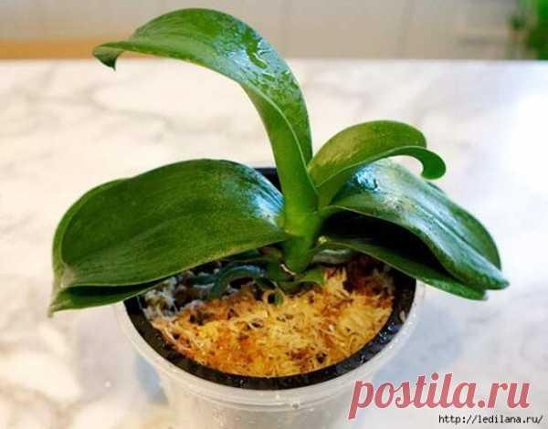 Как реанимировать орхидею, если сгнили корни