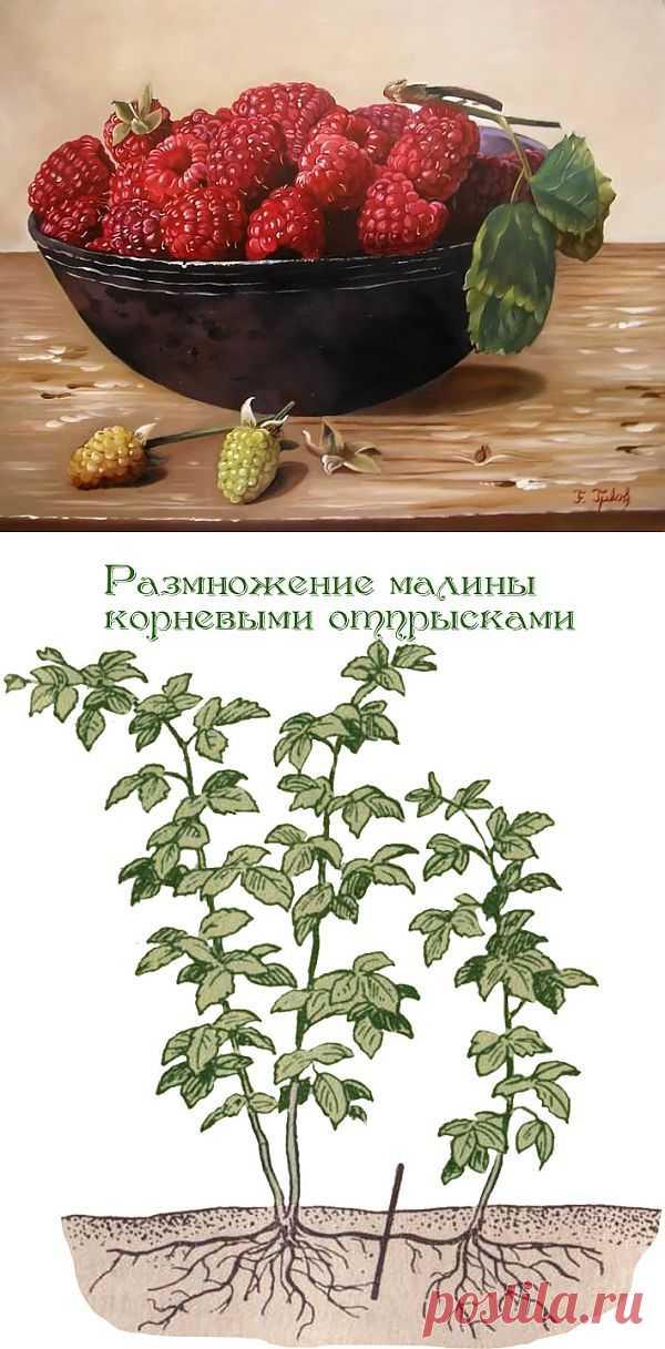 Способы размножения малины.
