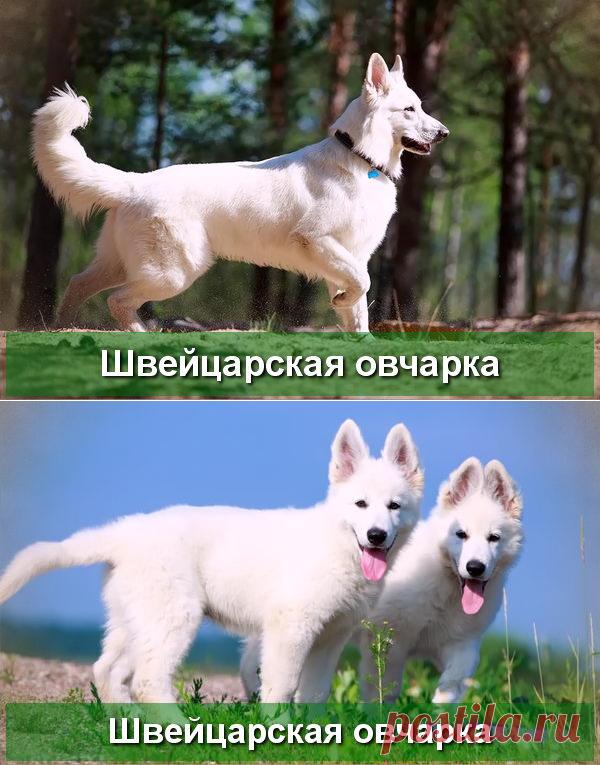 Белая Швейцарская Овчарка - описание породы - Про Питомца