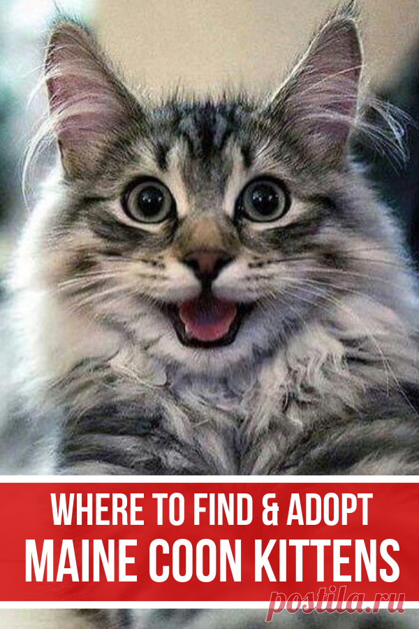 Find Maine Coon Cats to adopt and bring this loving breed of